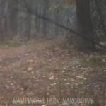 Wilki w Puszczy Kampinoskiej