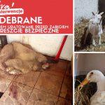 Horror pod Nadarzynem. W nielegalnej ubojni odkryto krew na ścianach, szczątki zwierząt i robaki