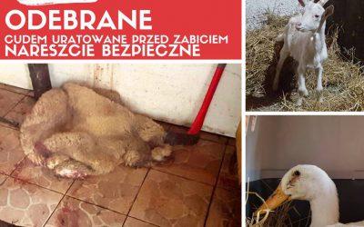 nielegalna ubojnia zwierząt Szamoty