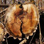 Ponad milion złotych kary za nielegalną wycinkę drzew w Grodzisku!
