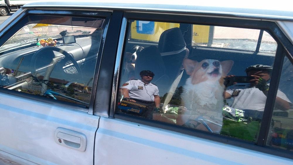 psy-rozgrzany-samochod-grodzisk