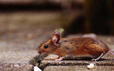 myszy-biedronka-grodzisk