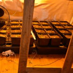 Zlikwidowana uprawa konopi w Żabiej Woli [FOTO, WIDEO]