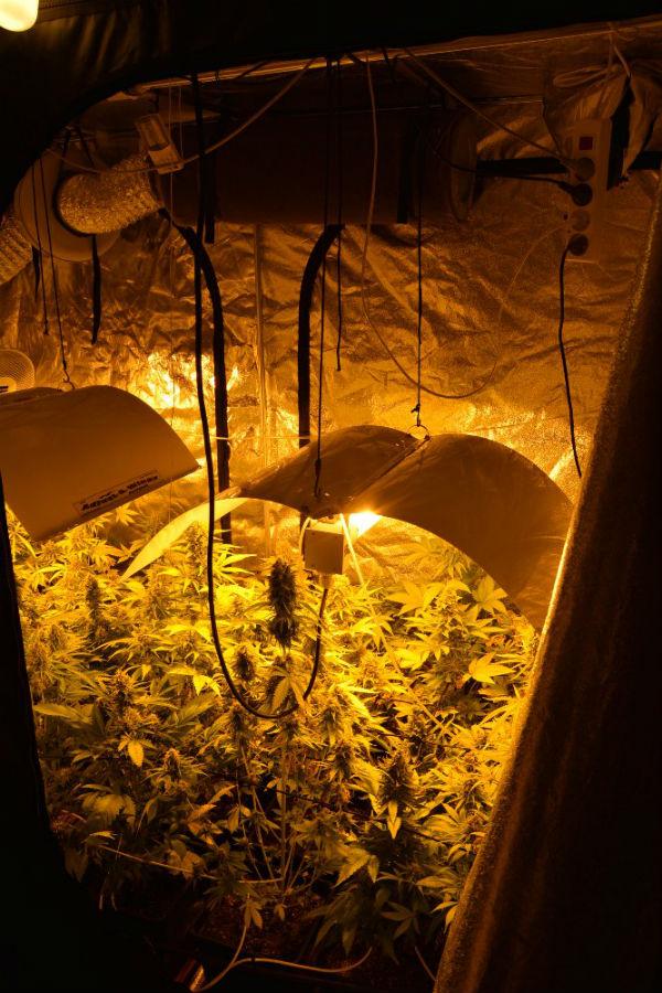 uprawa-konopie-podkowa-lesna-5