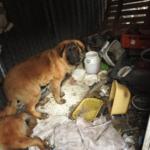 Makabryczne odkrycie w Wólce Kosowskiej: zwłoki psa i i podejrzane mięso