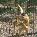 Mieszkańcowi uciekła małpka kapucynka. Straż miejska: wyskoczyła na plac zabaw