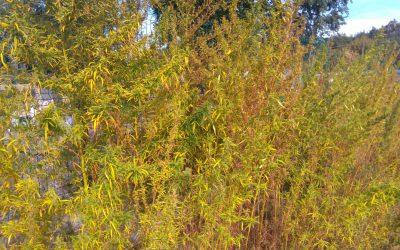 plantacja-konopie-stare-babice