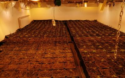 plantacja-marihuany-janki