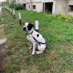 Dwa niebezpieczne incydenty z udziałem agresywnych psów