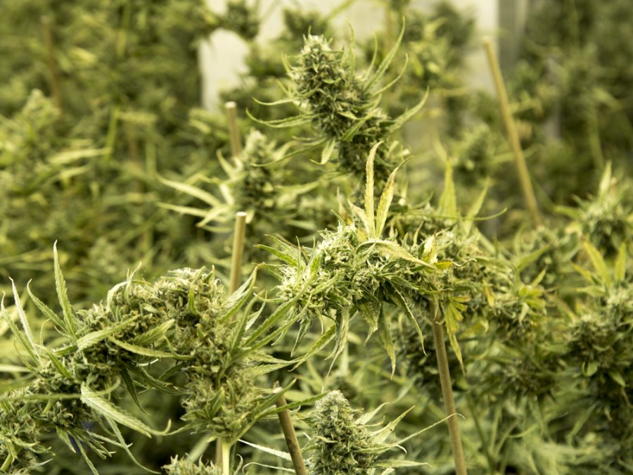 marihuana-plantacja-piaseczno-4