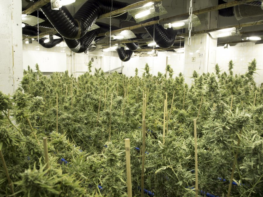 marihuana-plantacja-piaseczno