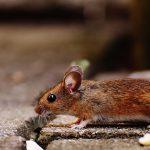 Myszy w grodziskiej Biedronce? [OŚWIADCZENIE FIRMY]