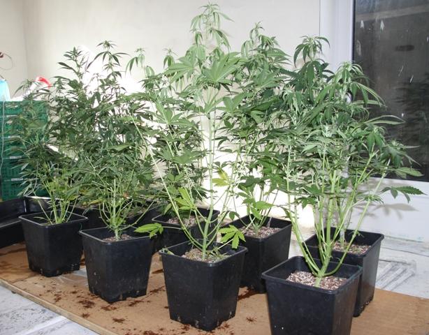 plantacja-konopi-zyrardow-3