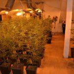 Chińska uprawa marihuany w Żabiej Woli. 473 krzaki konopi, 377 sadzonek i 2,5 kg suszu [FOTO]